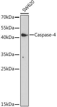 Cell Biology Antibodies 15 Anti-Caspase-4 Antibody CAB19305