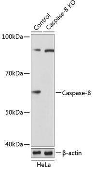 KO Validated Antibodies 2 Anti-Caspase-8 Antibody KO Validated CAB19549