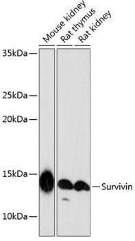 Cell Death Antibodies 2 Anti-Survivin Antibody CAB19663