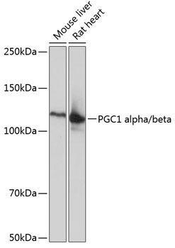 Cell Biology Antibodies 15 Anti-PGC1 alpha/beta Antibody CAB19674