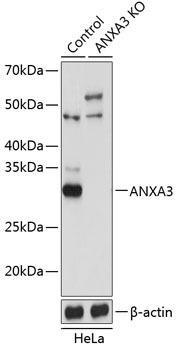 KO Validated Antibodies 2 Anti-ANXA3 Antibody CAB19862KO Validated
