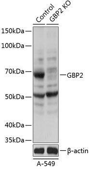 KO Validated Antibodies 2 Anti-GBP2 Antibody CAB19874KO Validated