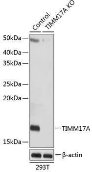 KO Validated Antibodies 2 Anti-TIMM17A Antibody CAB19918KO Validated