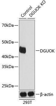 KO Validated Antibodies 2 Anti-DGUOK Antibody CAB19926KO Validated