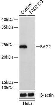 KO Validated Antibodies 2 Anti-BAG2 Antibody CAB19945KO Validated