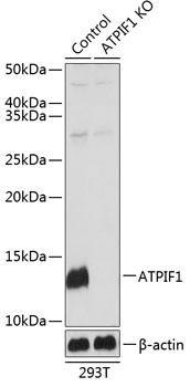 KO Validated Antibodies 2 Anti-ATPIF1 Antibody CAB19946KO Validated