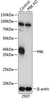 KO Validated Antibodies 2 Anti-SPK Antibody CAB19947KO Validated