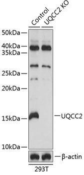 KO Validated Antibodies 2 Anti-UQCC2 Antibody CAB19955KO Validated