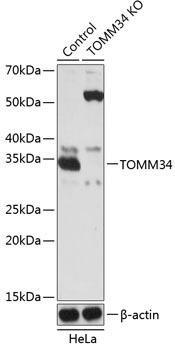KO Validated Antibodies 2 Anti-TOMM34 Antibody CAB19960KO Validated