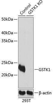 KO Validated Antibodies 2 Anti-GSTK1 Antibody CAB19963KO Validated