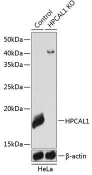 KO Validated Antibodies 2 Anti-HPCAL1 Antibody CAB19964KO Validated