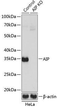 KO Validated Antibodies 2 Anti-AIP Antibody CAB19969KO Validated