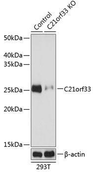 KO Validated Antibodies 2 Anti-C21orf33 Antibody CAB19971KO Validated