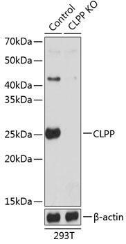KO Validated Antibodies 2 Anti-CLPP Antibody CAB19975KO Validated