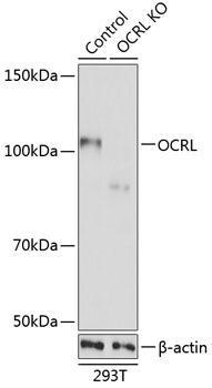 KO Validated Antibodies 2 Anti-OCRL Antibody CAB19976KO Validated