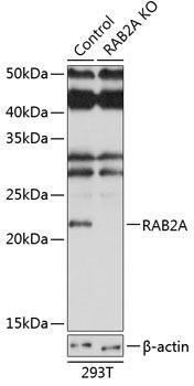 KO Validated Antibodies 2 Anti-RAB2A Antibody CAB19982KO Validated