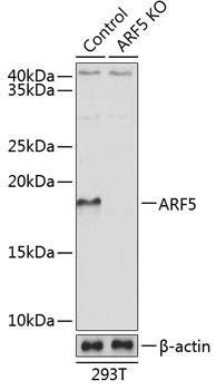 KO Validated Antibodies 2 Anti-ARF5 Antibody CAB19986KO Validated