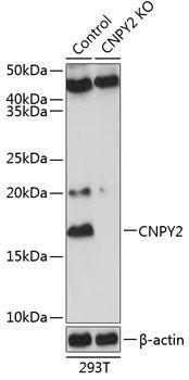 KO Validated Antibodies 2 Anti-CNPY2 Antibody CAB20002KO Validated