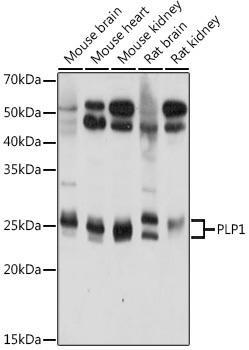 Neuroscience Anti-PLP1 Antibody CAB20009