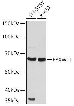 Cell Biology Antibodies 17 Anti-FBXW11 Antibody CAB20010