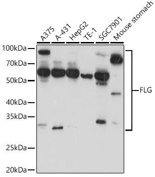 Cell Biology Antibodies 15 Anti-FLG Antibody CAB20011