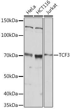 Cell Biology Antibodies 15 Anti-TCF3 Antibody CAB20013