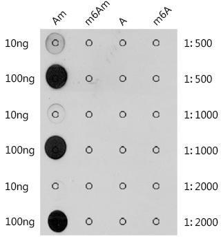Cell Biology Antibodies 15 Anti-2-O-methyladenosine / Am Antibody CAB2388
