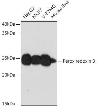 Cell Biology Antibodies 17 Anti-Peroxiredoxin 3 Antibody CAB2398