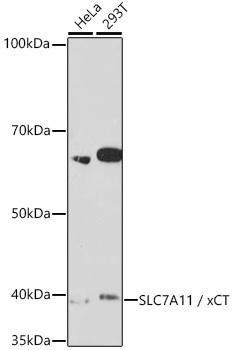 Signal Transduction Antibodies 3 Anti-SLC7A11 / xCT Antibody CAB2413