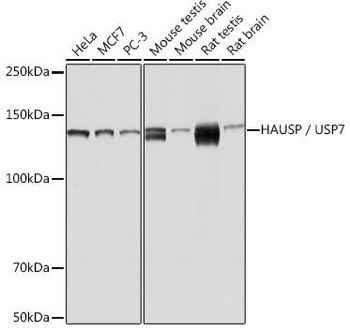 Cell Biology Antibodies 17 Anti-HAUSP / USP7 Antibody CAB3448