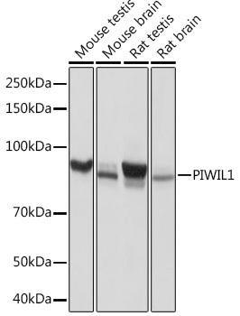 Developmental Biology Anti-PIWIL-1 Antibody CAB3490
