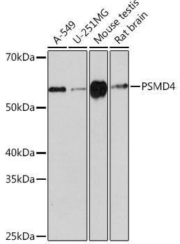 Cell Biology Antibodies 17 Anti-PSMD4 Antibody CAB3663