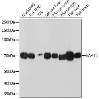 Signal Transduction Antibodies 3 Anti-EAAT2 Antibody CAB3679