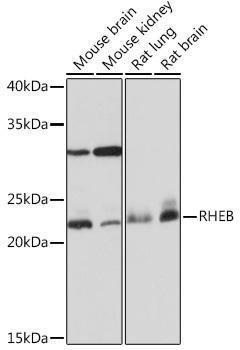 Cell Biology Antibodies 17 Anti-RHEB Antibody CAB3702