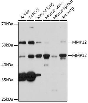 Cell Biology Antibodies 17 Anti-MMP12 Antibody CAB3713