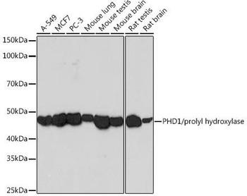 Cell Biology Antibodies 17 Anti-PHD1/prolyl hydroxylase Antibody CAB3730