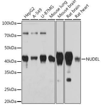 Developmental Biology Anti-NUDEL Antibody CAB3799