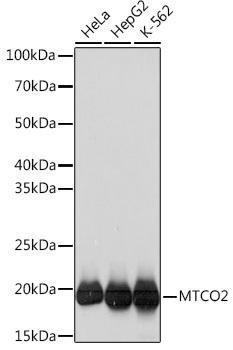Cell Biology Antibodies 17 Anti-MTCO2 Antibody CAB3843