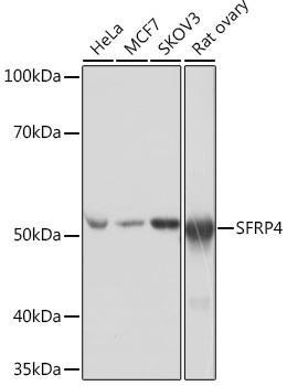 Developmental Biology Anti-SFRP4 Antibody CAB4189