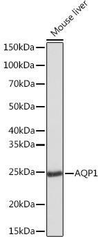 Signal Transduction Antibodies 3 Anti-AQP1 Antibody CAB4195