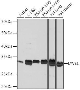 Signal Transduction Antibodies 3 Anti-LYVE1 Antibody CAB4352