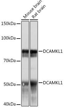 Developmental Biology Anti-DCAMKL1 Antibody CAB4372