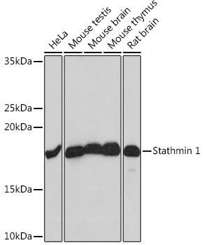 Developmental Biology Anti-Stathmin 1 Antibody CAB4379