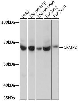 Developmental Biology Anti-CRMP2 Antibody CAB4411