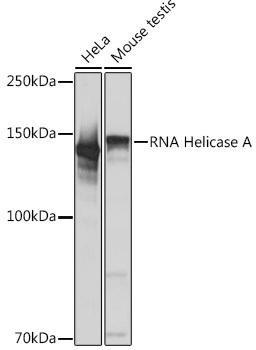 Cell Biology Antibodies 15 Anti-RNA Helicase A Antibody CAB4563
