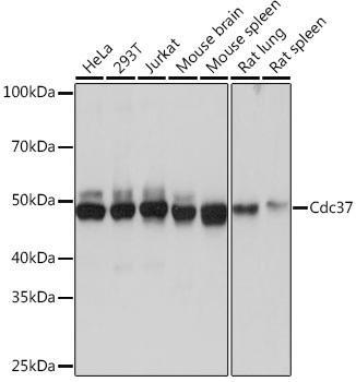 Cell Biology Antibodies 17 Anti-Cdc37 Antibody CAB4582