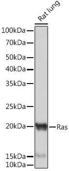 Cell Biology Antibodies 15 Anti-Ras Antibody CAB4735