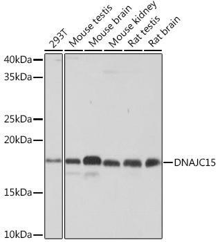 Cell Biology Antibodies 15 Anti-DNAJC15 Antibody CAB4825