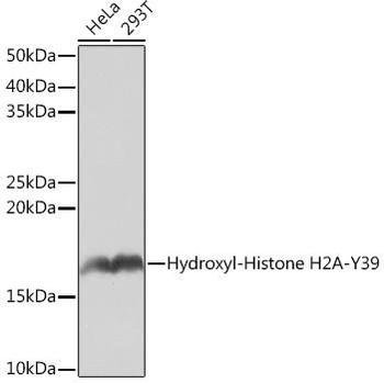 Cell Biology Antibodies 15 Anti-Hydroxyl-Histone H2A-Y39 Antibody CAB4827