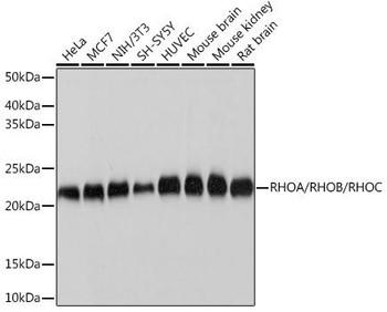 Cell Biology Antibodies 15 Anti-RHOA/RHOB/RHOC Antibody CAB4855